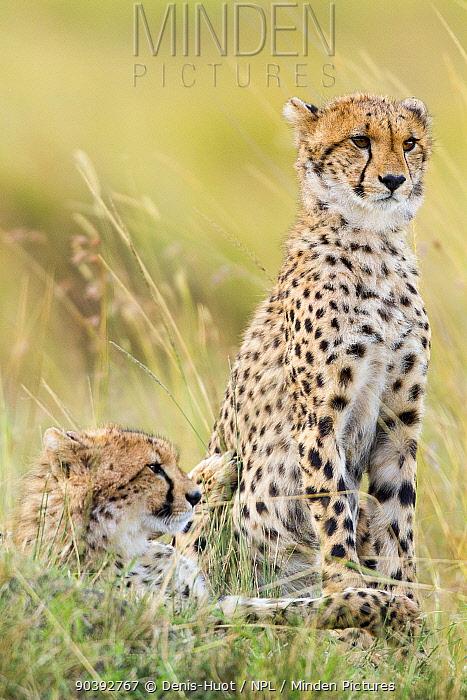 Cheetah (Acinonyx jubatus) juveniles, Masai-Mara Game Reserve, Kenya  -  Denis Huot/ npl