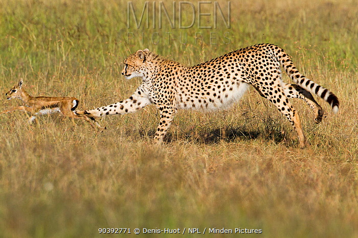 Cheetah (Acinonyx jubatus) juvenile hunting a baby Thomson's gazelle (Eudorcas thomsonii) Masai-Mara Game Reserve, Kenya  -  Denis Huot/ npl