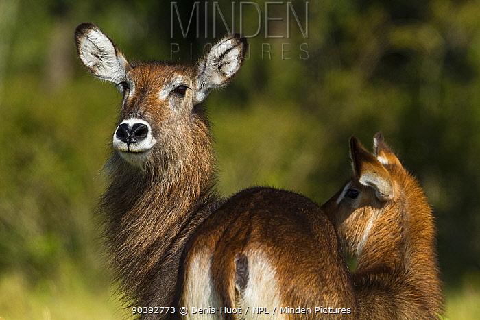Defassa kob (Kobus ellipsiprymnus) female and calf, Masai-Mara Game Reserve, Kenya  -  Denis Huot/ npl