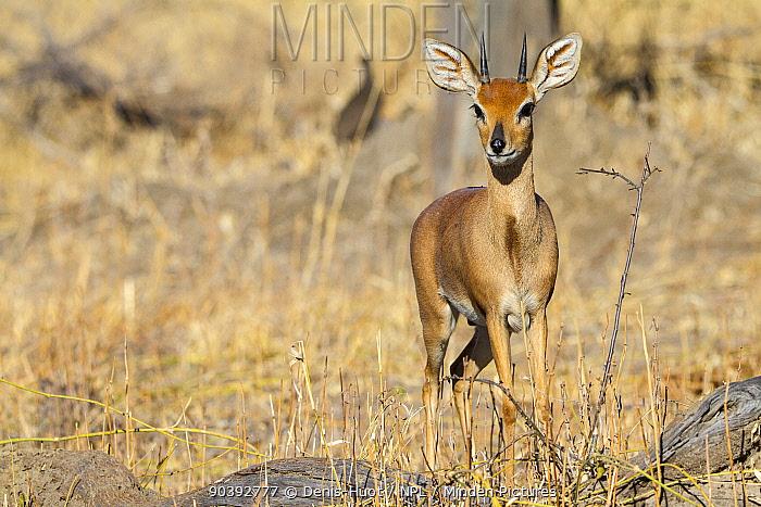 Steenbok (Raphiceros campestris) portrait, Chobe National Park, Savuti area, Botswana  -  Denis Huot/ npl