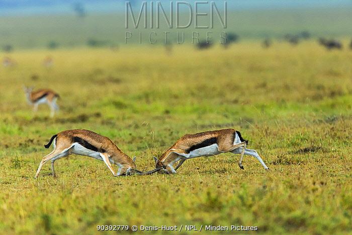 Thomson's gazelle (Gazella thomsoni) males fighting, Masai-Mara Game Reserve, Kenya  -  Denis Huot/ npl