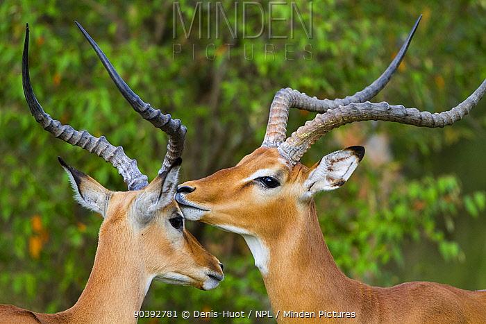 Impala (Aepyceros melampus) males grooming each other, Masai-Mara Game Reserve, Kenya  -  Denis Huot/ npl