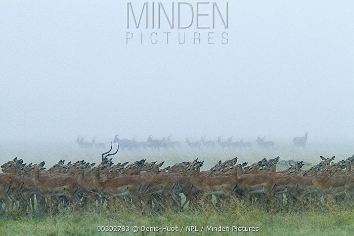 Impala (Aepyceros melampus) herd in a storm, Masai-Mara Game Reserve, Kenya  -  Denis Huot/ npl