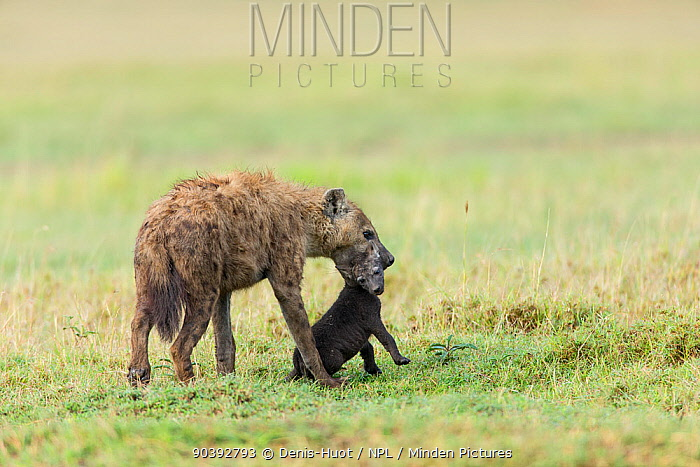 Spotted hyena (Crocuta crocuta) female carrying her baby from a den to another one, Masai-Mara Game Reserve, Kenya  -  Denis Huot/ npl