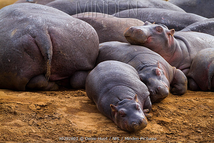 Hippopotamus (Hippopotamus amphibius) females with babies, resting, Masai-Mara Game Reserve, Kenya  -  Denis Huot/ npl