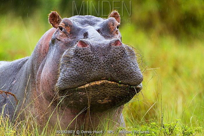 Hippopotamus (Hippopotamus amphibius) male portrait, Masai-Mara Game Reserve, Kenya  -  Denis Huot/ npl