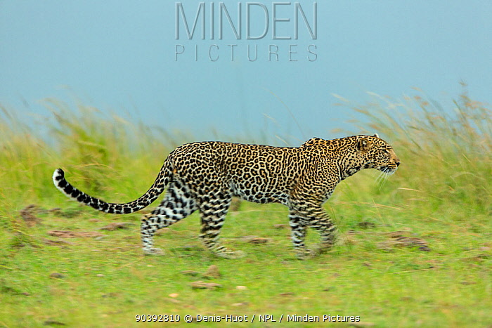 Leopard (Panthera pardus) looking for prey, Masai-Mara Game Reserve, Kenya  -  Denis Huot/ npl