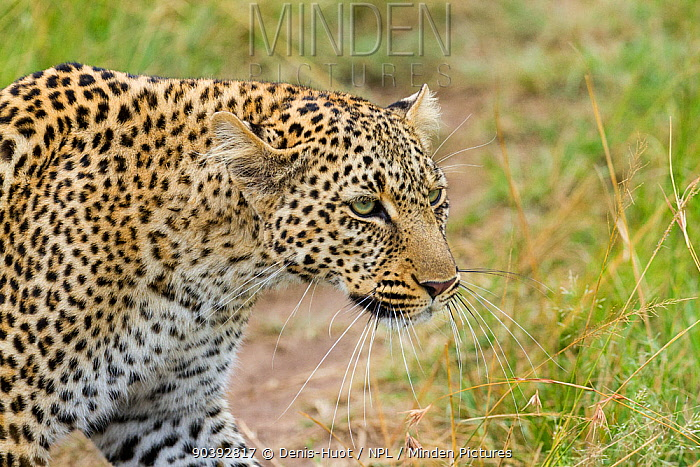 Leopard (Panthera pardus) Masai-Mara Game Reserve, Kenya  -  Denis Huot/ npl
