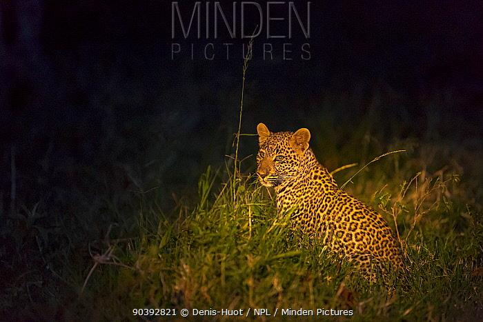 Leopard (Panthera pardus) at night, Masai-Mara Game Reserve, Kenya  -  Denis Huot/ npl