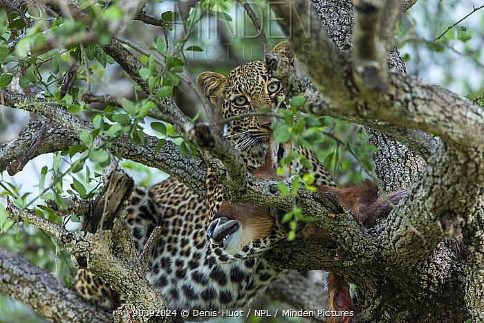 Leopard (Panthera pardus) young feeding in a tree, Masai-Mara Game Reserve, Kenya  -  Denis Huot/ npl