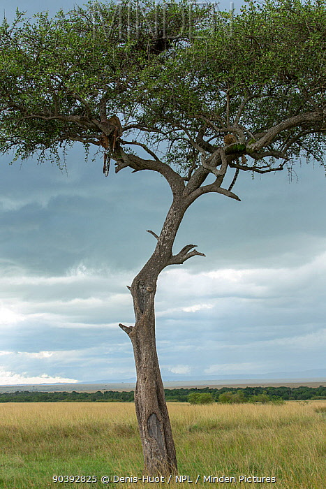 Leopard (Panthera pardus) female and cub in a tree with a prey, Masai-Mara Game Reserve, Kenya  -  Denis Huot/ npl