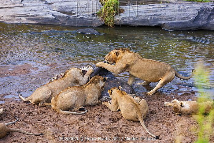 Lionesses (Panthera leo) feeding on a dead hippo, Masai-Mara Game Reserve, Kenya  -  Denis Huot/ npl