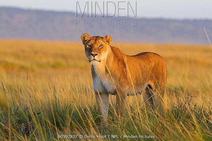 Lioness (Panthera leo) Masai-Mara Game Reserve, Kenya  -  Denis Huot/ npl