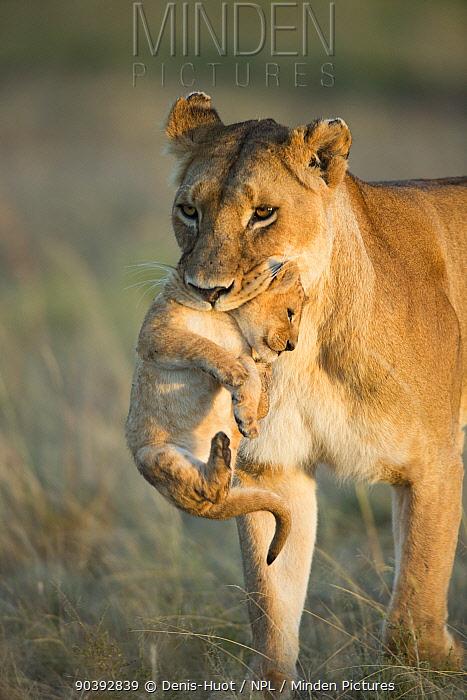 Lion (Panthera leo) female carrying her cub, Masai-Mara Game Reserve, Kenya  -  Denis Huot/ npl