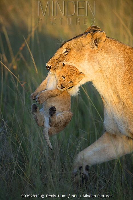 Lioness (Panthera leo) carrying her cub, Masai-Mara Game Reserve, Kenya  -  Denis Huot/ npl