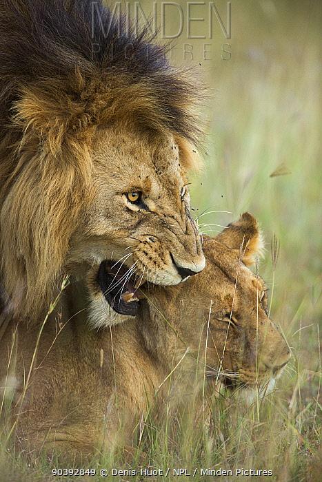 Lions (Panthera leo) mating, Masai-Mara Game Reserve, Kenya  -  Denis Huot/ npl