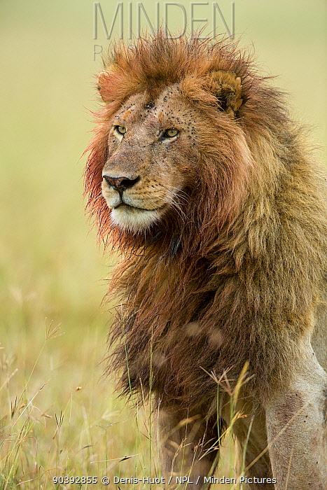 Lion (Panthera leo) male with bloody mane and flies, Masai-Mara Game Reserve, Kenya  -  Denis Huot/ npl