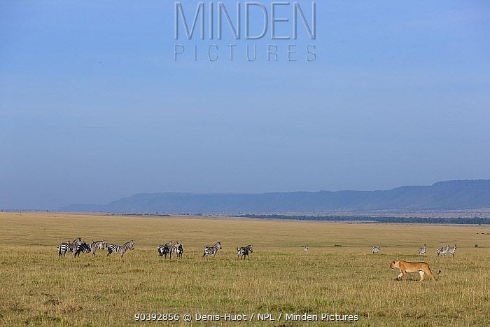 Lion (Panthera leo) female walking in plains near Zebra (Equus quagga) Masai-Mara Game Reserve, Kenya  -  Denis Huot/ npl