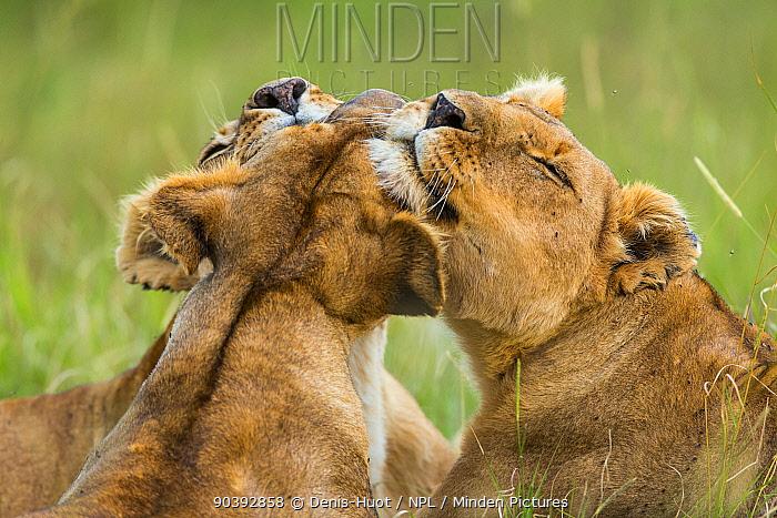 Lionesses (Panthera leo) grooming each other, Masai-Mara Game Reserve, Kenya  -  Denis Huot/ npl