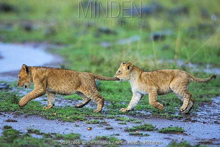 Lion (Panthera leo) cubs playing, Masai-Mara Game Reserve, Kenya  -  Denis Huot/ npl