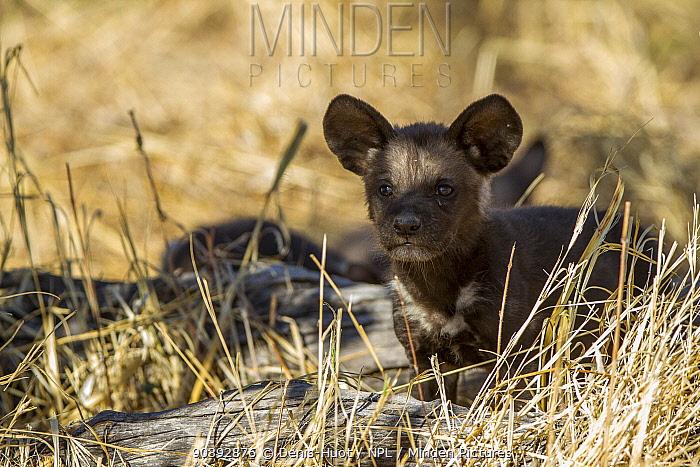African wild dogs (Lycaon pictus) cub at den, Khwai river Game Reserve, Botswana  -  Denis Huot/ npl