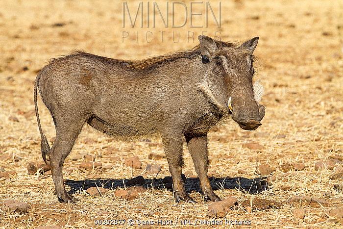 Warthog male (Phaecochoerus aethiopicus) Chobe National Park, Savuti area, Botswana  -  Denis Huot/ npl