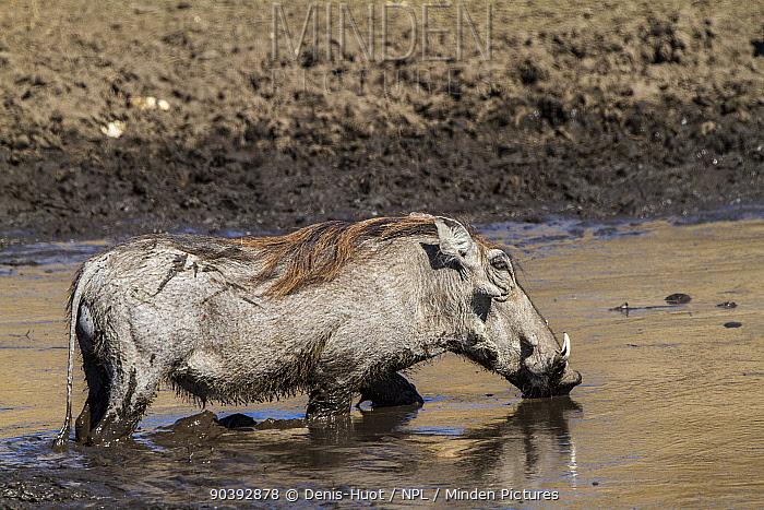Warthog male (Phaecochoerus aethiopicus) in river, Chobe National Park, Savuti area, Botswana  -  Denis Huot/ npl