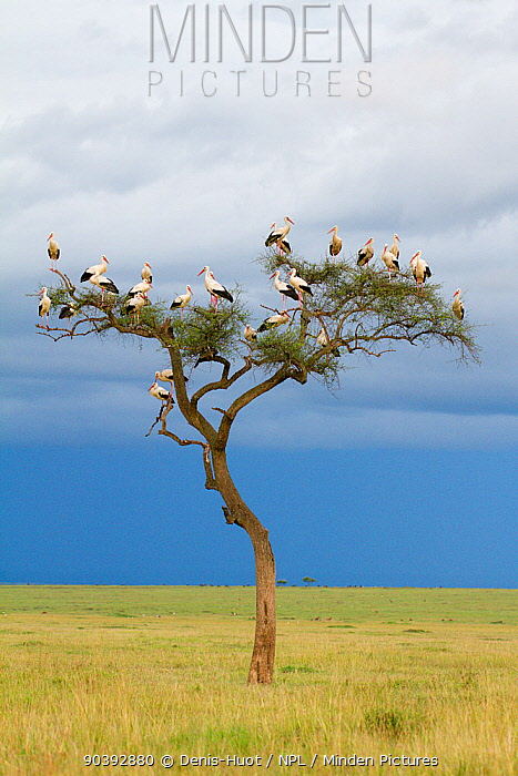 White stork (Ciconia ciconia) in tree, migrating towards Europe, Masai-Mara Game Reserve, Kenya  -  Denis Huot/ npl