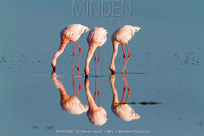 Lesser flamingos (Phoeniconaias minor) feeding, Lake Nakuru, Kenya  -  Denis Huot/ npl