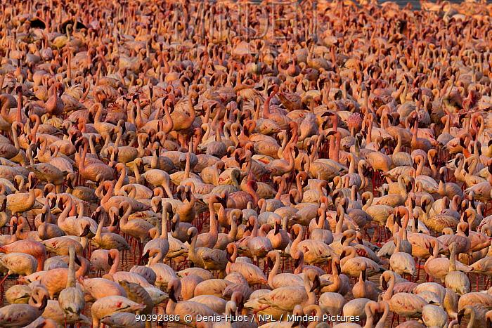 Lesser flamingo (Phoeniconaias minor) large group, aerial view, Bogoria Game Reserve, Kenya  -  Denis Huot/ npl