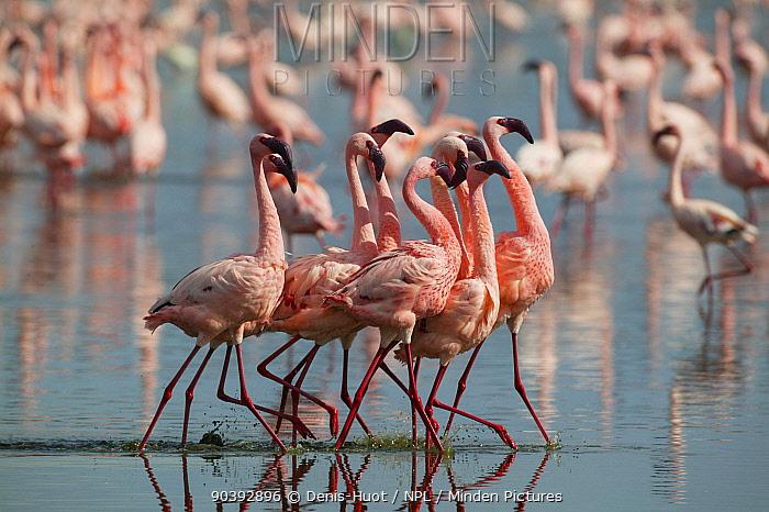 Lesser flamingo (Phoeniconaias minor) males displaying, Lake Nakuru, Kenya  -  Denis Huot/ npl