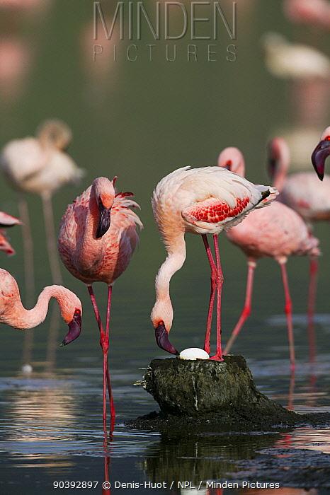 Lesser flamingo (Phoeniconaias minor) at nest, Nakuru National Park, Kenya  -  Denis Huot/ npl