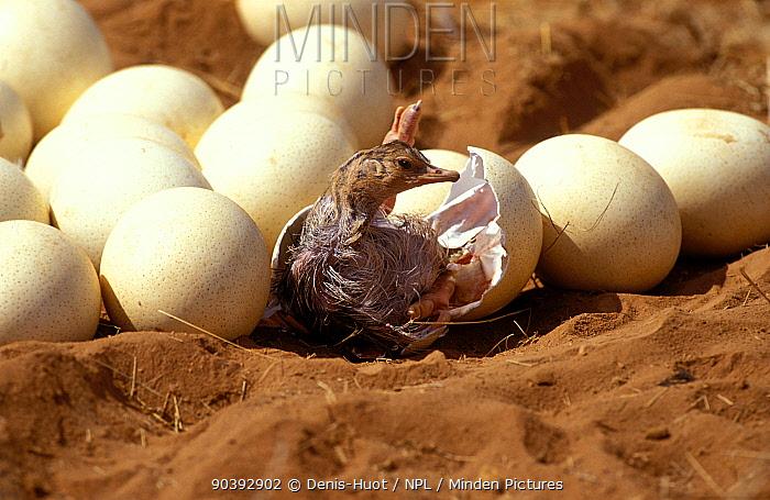 Somali Ostrich (Struthio molybdophanes) hatching, Samburu Game Reserve, Kenya  -  Denis Huot/ npl