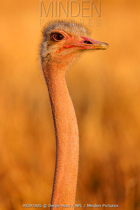 Ostrich (Struthio camelus) juvenile portrait, Masai-Mara Game Reserve, Kenya  -  Denis Huot/ npl