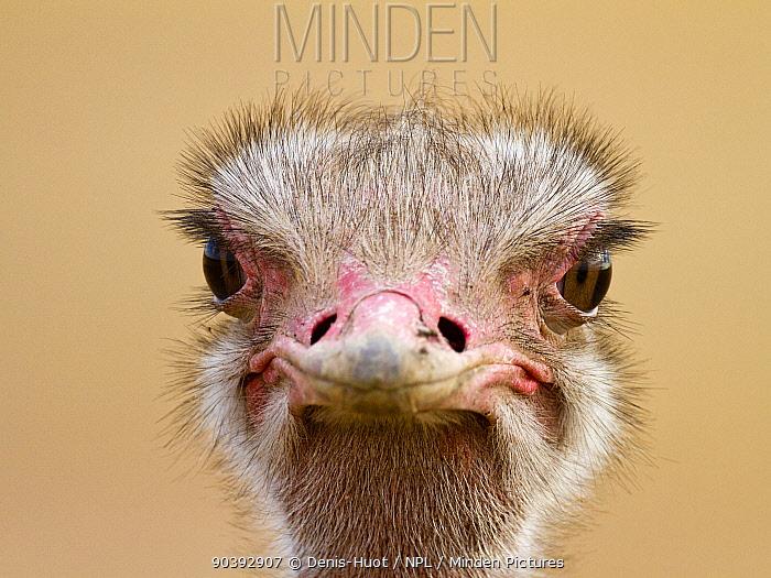 Ostrich (Struthio camelus) female portrait, Masai-Mara Game Reserve, Kenya  -  Denis Huot/ npl