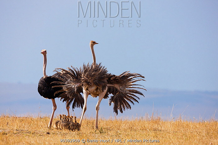 Ostrich (Struthio camelus) female and male with chicks, Masai-Mara Game Reserve, Kenya  -  Denis Huot/ npl