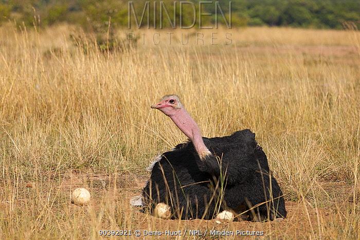 Ostrich (Struthio camelus) male on nest, Masai-Mara Game Reserve, Kenya  -  Denis Huot/ npl