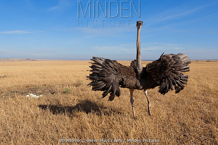 Ostrich (Struthio camelus) female with wings spread to protect her nest, Masai-Mara Game Reserve, Kenya  -  Denis Huot/ npl