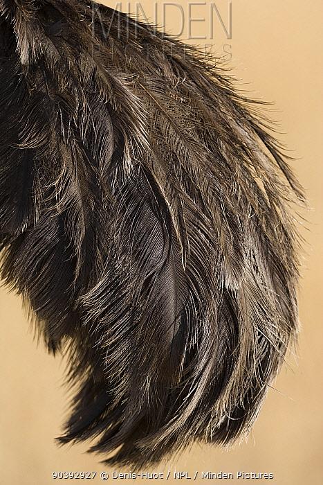 Ostrich (Struthio camelus) female close up of wings, Masai-Mara Game Reserve, Kenya  -  Denis Huot/ npl