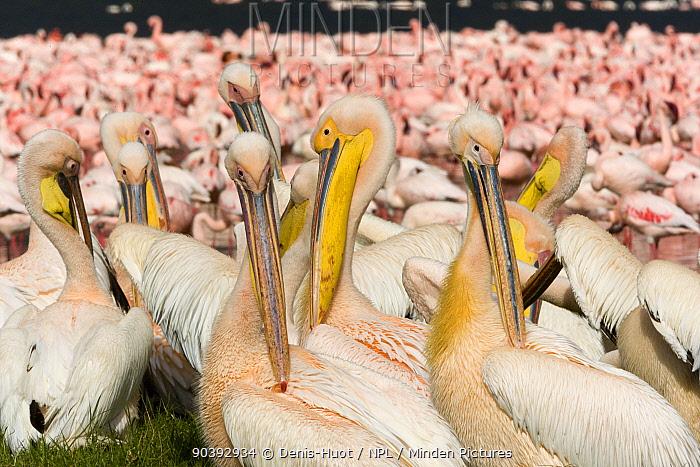 Lesser flamingo (Phoeniconaias minor) and White pelican (Pelecanus onocrotalus) flock, Nakuru National Park, Kenya  -  Denis Huot/ npl