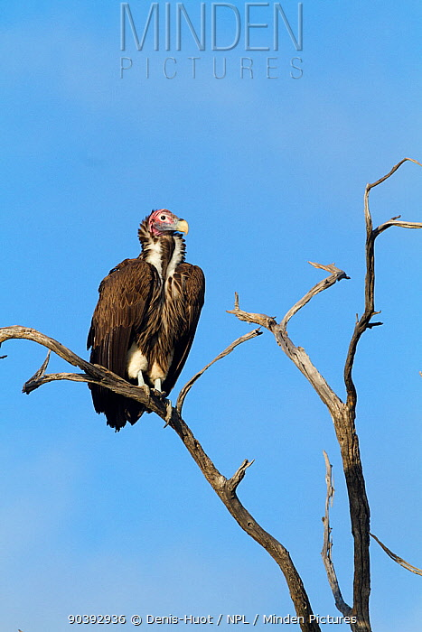 Lappet-faced vulture (Torgos tracheliotus) perched on tree, Moremi Game Reserve, Botswana  -  Denis Huot/ npl