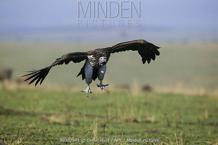 Lappet-faced vulture (Torgos tracheliotus) landing Masai-Mara Game Reserve, Kenya  -  Denis Huot/ npl