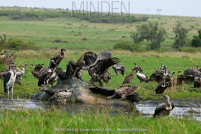 White-backed Vultures (Gyps Africanus) feeding on a dead hippo, Masai-Mara Game Reserve, Kenya  -  Denis Huot/ npl