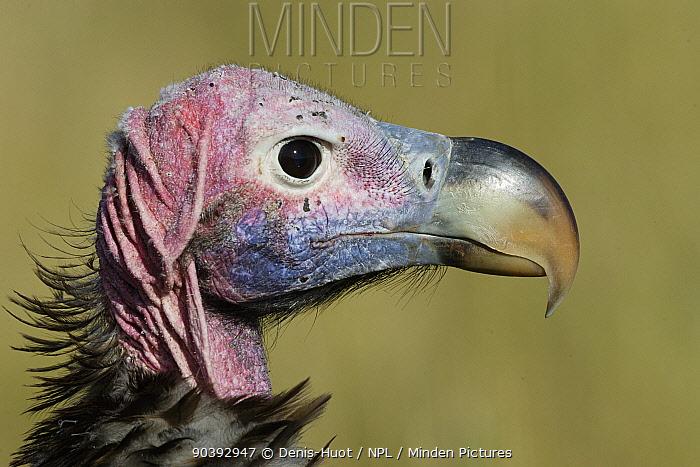 Lappet-faced vulture (Torgos tracheliotus) profile, Masai-Mara Game Reserve, Kenya  -  Denis Huot/ npl