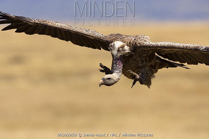 White-backed Vulture (Gyps Africanus) landing, Masai-Mara Game Reserve, Kenya  -  Denis Huot/ npl