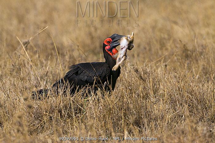 Ground hornbill (Bucorvus leadbearti) catching a hare, Masai-Mara Game Reserve, Kenya  -  Denis Huot/ npl