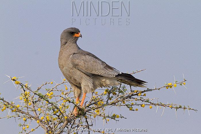 Pale Chanting-Goshawk (Melierax canorus) on tree, Namibia  -  Denis Huot/ npl