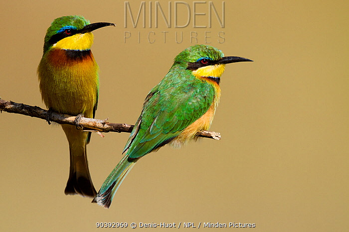 Little bee-eaters (Merops pusillus) Masai-Mara Game Reserve, Kenya  -  Denis Huot/ npl