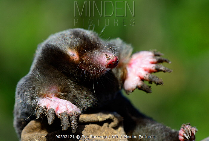 European mole (Talpa europaea) at the surface, Alsace, France, September  -  Eric Baccega/ npl