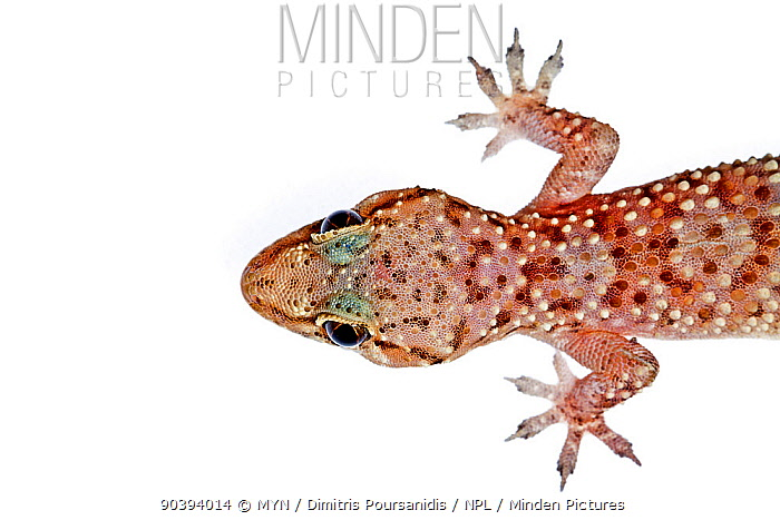 Mediterranean House Gecko (Hemidactylus turcicus) Crete, Greece, August Meetyourneighboursnet project  -  MYN/ Dimitris Poursanidis/ npl
